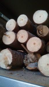 Pin à crochets des Pyrénées Catalanes